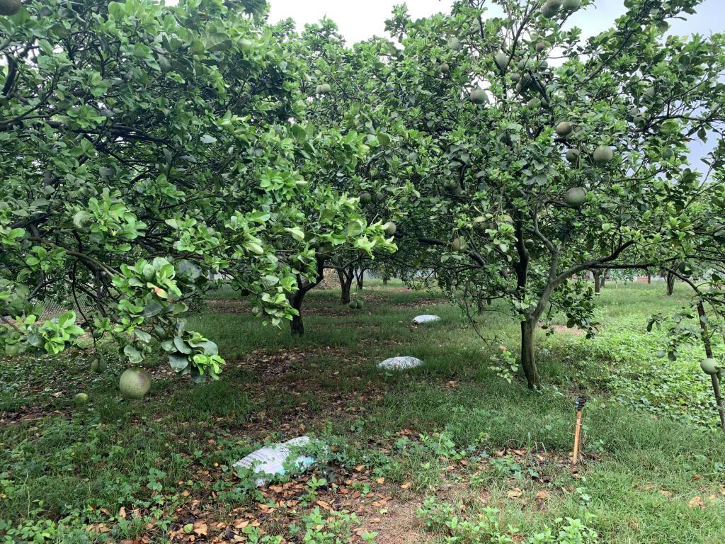 Đất vườn bưởi đang thu hoạch giá 559tr/1 sào