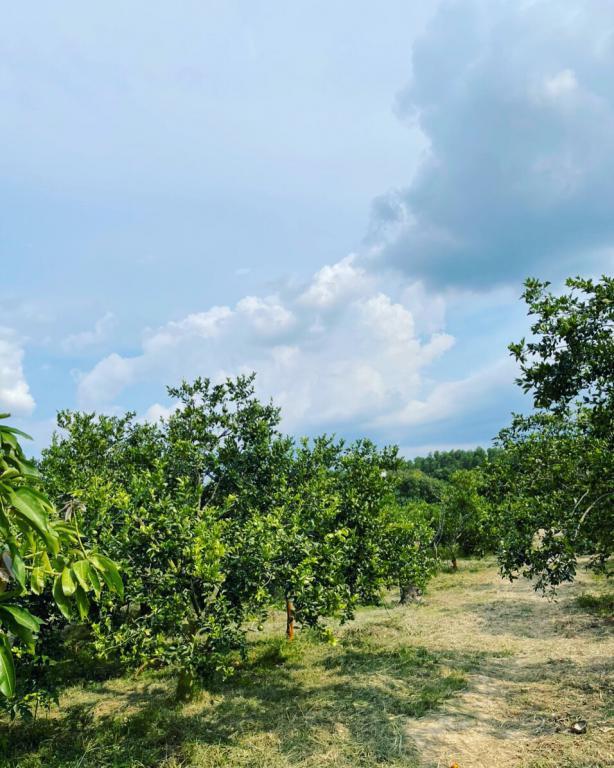 Đất vườn trồng cây ăn trái đang thu hoạch